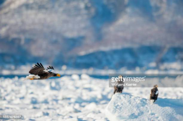 Stellers sea eagle is flying over the pack ice offshore the small town of Rausu, which is located on the east end of the Shiretoko Peninsula on...