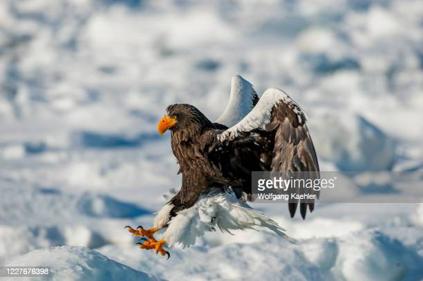 Stellers sea eagle is landing on the pack ice offshore the small town of Rausu, which is located on the east end of the Shiretoko Peninsula on...