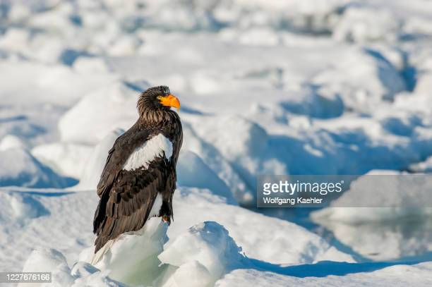 Stellers sea eagle is sitting on the pack ice offshore the small town of Rausu, which is located on the east end of the Shiretoko Peninsula on...