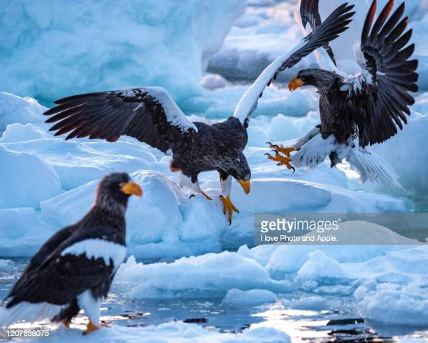 steller's sea eagle on the drift ice - pack ice stock pictures, royalty-free photos & images