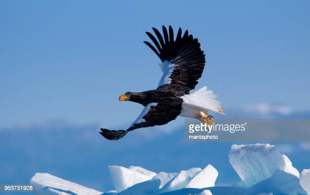 steller's sea eagle - biggest stock pictures, royalty-free photos & images