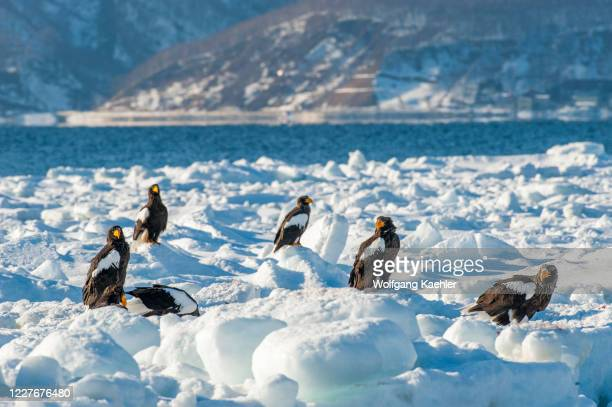Stellers sea eagles sitting on pack ice offshore the small town of Rausu, which is located on the east end of the Shiretoko Peninsula on Hokkaido...