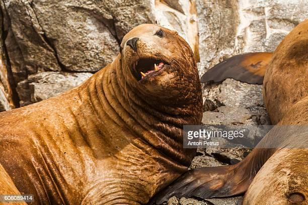 Steller's Sea Lion (Eumetopias jubatus), Kamchatka, Russia