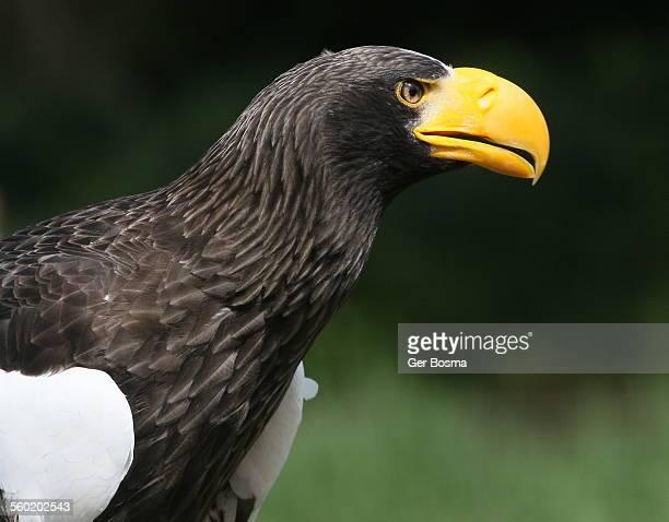 Steller's sea-eagle portrait