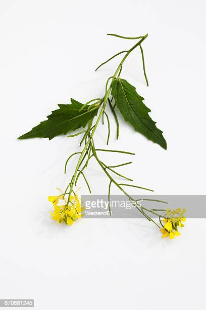 stem of field mustard on white ground - mustard stock pictures, royalty-free photos & images