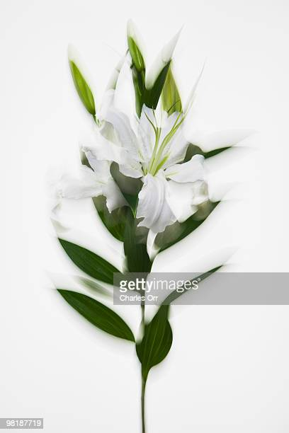 A stem of white lilies