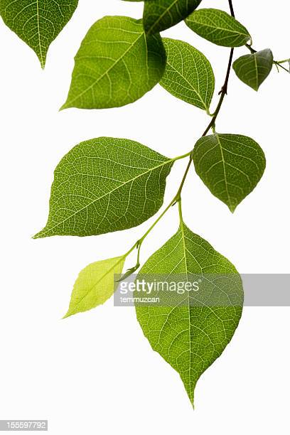 Stielgrün mit Blätter in verschiedenen Grüntönen und mehreren Größen erhältlich.