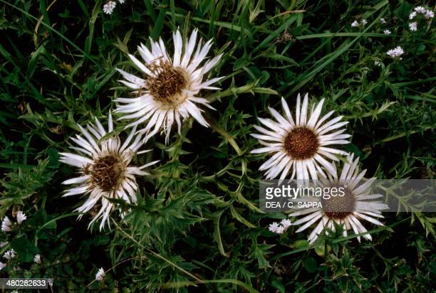Stemless carline thistle Dwarf carline thistle or Silver thistle Asteraceae