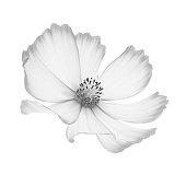 single cosmos flower black white closeup