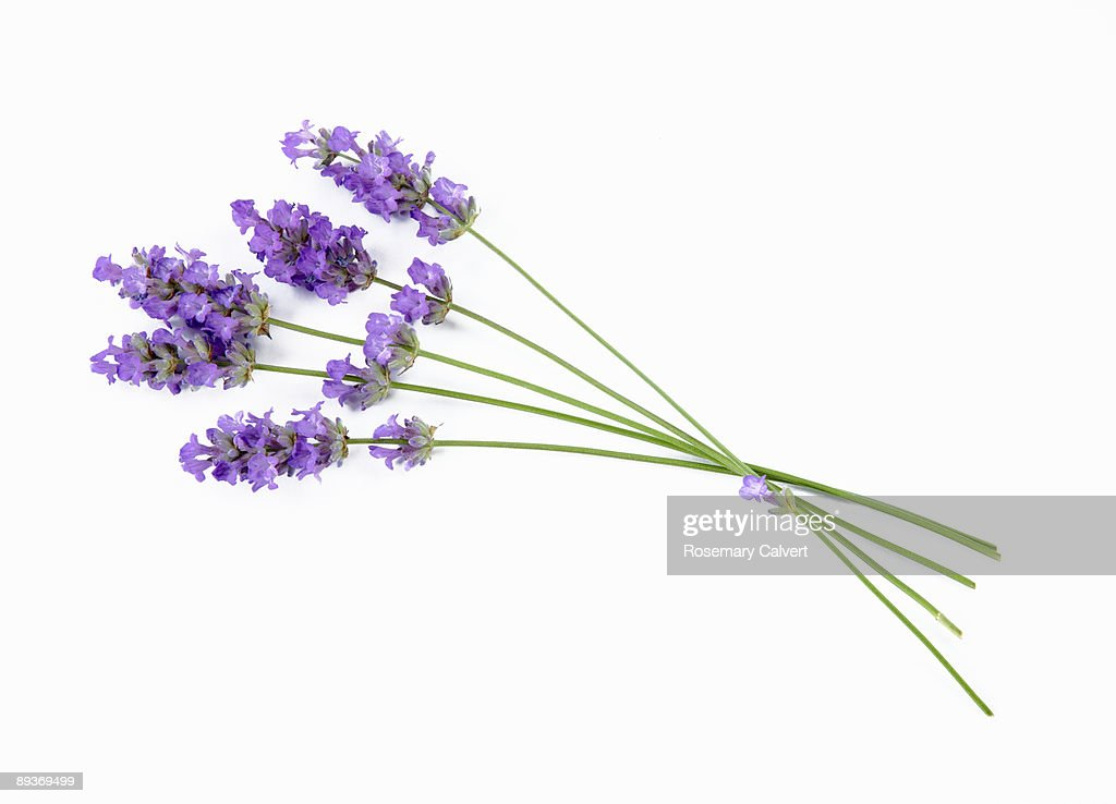 Stems of lavender flowers : Stock Photo