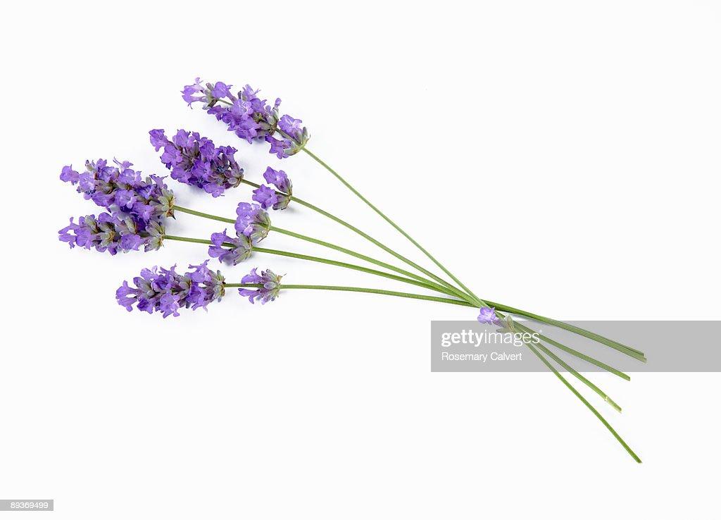 Stems of lavender flowers : ストックフォト