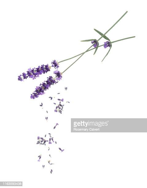 stems of lavender flowers with falling florets, on white. - knop plant stage stockfoto's en -beelden
