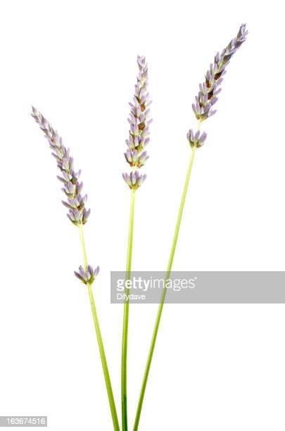 Stems des Lavendel isoliert auf weiss