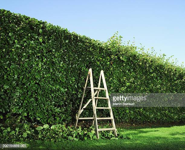 step ladder by partially pruned hedge - hedge stock pictures, royalty-free photos & images