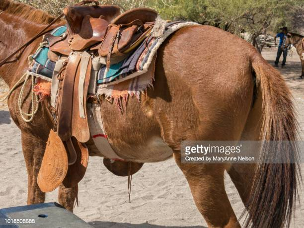 step to mount and saddle of donkey - mexican riding donkey stock photos and pictures