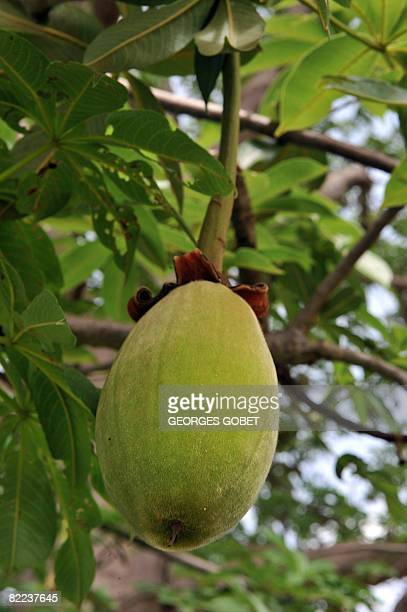 Stephanie van den Berg ** African 'tree of life' recast as European superfruit ** Recent picture of a fruit from a Boabab tree hanging from a branch...