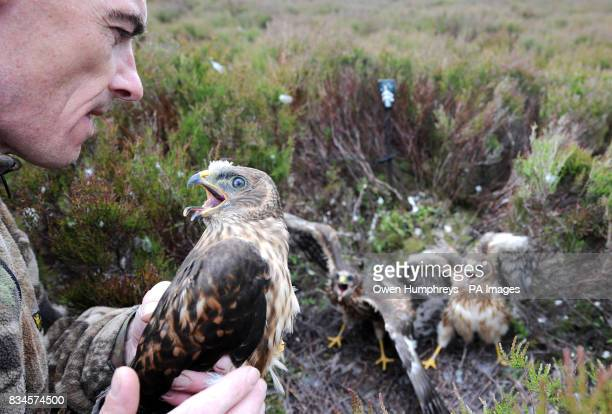 Stephen Murphy a harrier expert holds a rare one month old Hen Harrier chick fitted with a Remote Satellite receiver