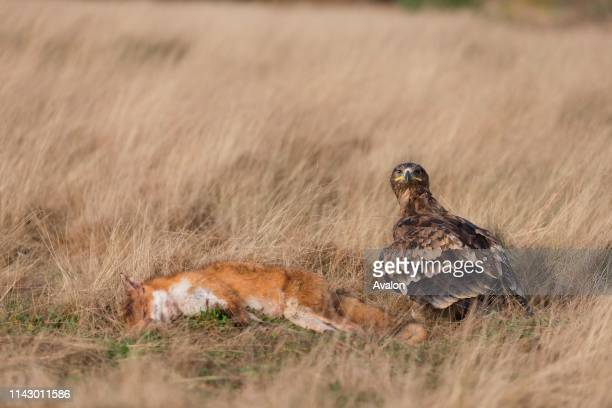 Steppe Eagle adult standing in grassland with Red Fox prey controlled subject