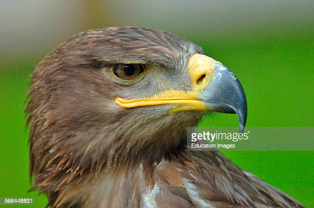 Steppe Eagle Aquila nipalensis ICBP Helmsley North Yorkshire