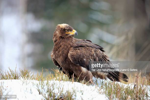steppe eagle, (aquila nipalensis) - czech hunters stock photos and pictures