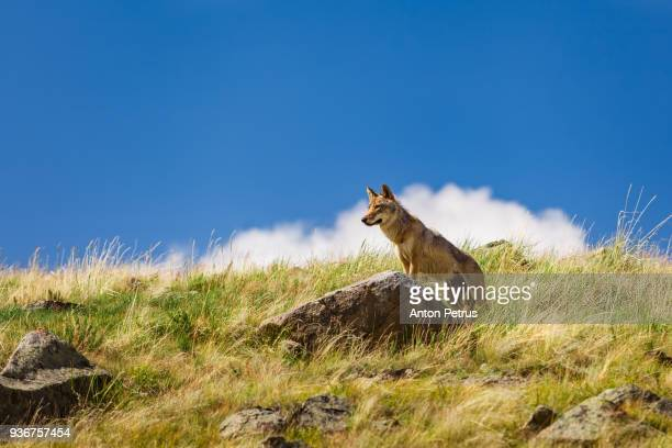 steppe wolf looks out for prey - summits russia 2015 stock pictures, royalty-free photos & images