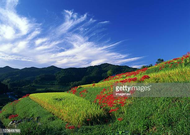 stepped rice paddy - asuka stock pictures, royalty-free photos & images