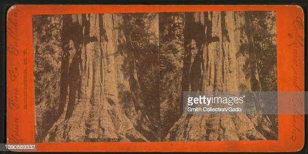Stereograph of redwood tree nicknamed Uncle Sam California 1895 From the New York Public Library