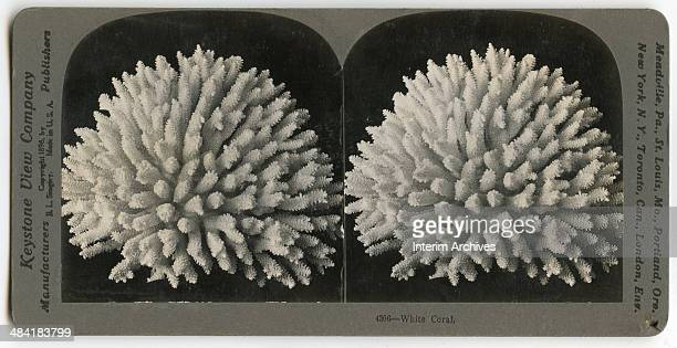 Stereoscopic view showing an example of a white coral specimen found in the Coral Sea or in the tropics of the Pacific Ocean, early twentieth...