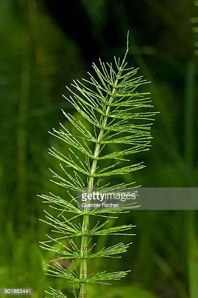 Sterile shoot of Field Horsetail -Equisetum arvense-, Kaiserstuhl, Baden-Wurttemberg, Germany