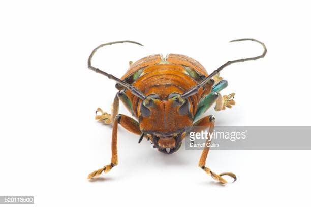 sternotomis pulchra ornata head on view of this long horned beetle - horned beetle stock pictures, royalty-free photos & images