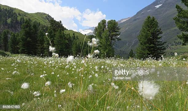 Österreich Tirol Ötztal Alpen Berge Gebirge alpin Obergurgl RotmoostalGebirgswiese mit Wollgras