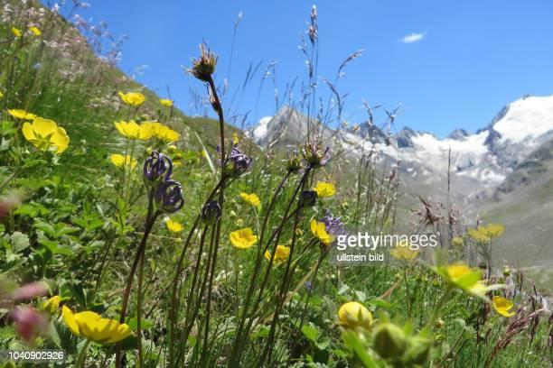 Österreich Tirol Ötztal Alpen Sommer Tourismus Obergurgl Rotmoostal Bergblumen Blumen Pflanzen Alpenblumen Alpenpflanzen