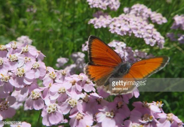 Österreich Tirol Ötztal Alpen Sommer Tourismus Obergurgl Untergurgl Falter Schmetterlinge Insekt Insekten Naturschutz Schmetterling Tagfalter...