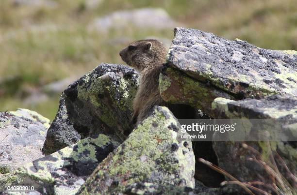 Österreich Tirol Ötztal Alpen Sommer Tourismus Obergurgl Alpenmurmeltier Marmota marmota Murmeltier Murmler Jungtier