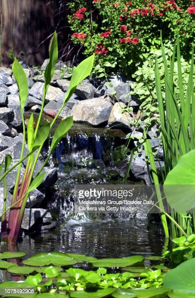 Steve Ashe's koi water pond that he built in his backyard fill with many different plants and about 20 fish which stayed near the bottom of the four...