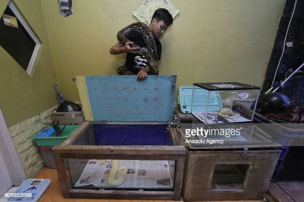 Steven Prasetyo a snake collector poses for a photo with a Reticulated Python at his house in Jakarta Indonesia on January 23 2018 Prasetyo have...