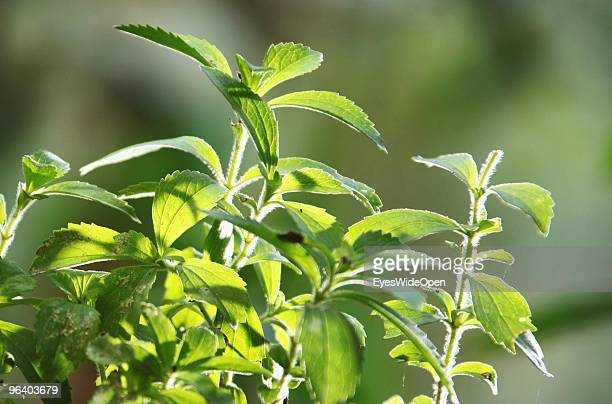 Stevia plant a natural healthy sweetener in Kumily on January 04 2010 in Kumily near Trivandrum Kerala South India