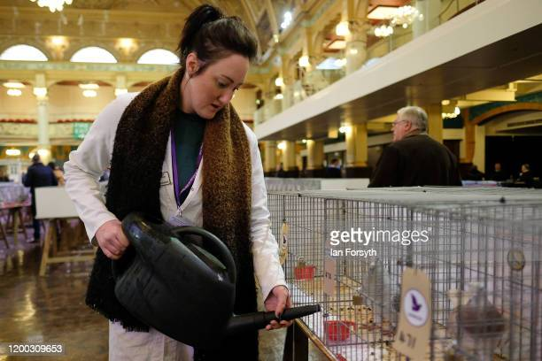 A steward fills up water trays on the first day of the annual British Homing Pigeon World Show of the Year at Blackpool Winter Gardens on January 18...