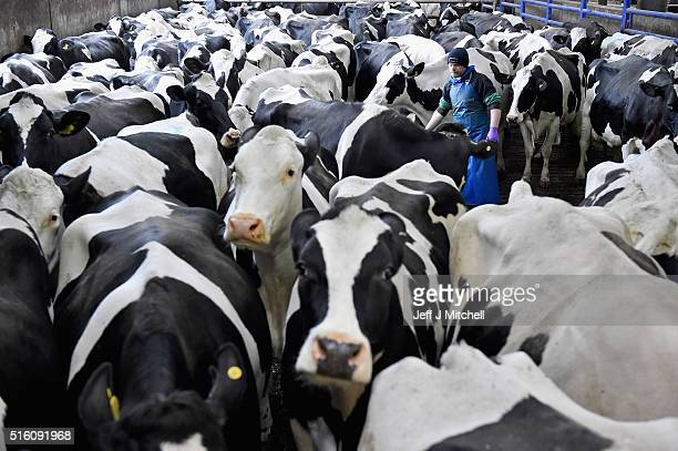 Stewart Johnstone tends to Holstein cows as they are milked at Clayland farm on March 16 2016 in Balfron Scotland Many farmers across the country are...