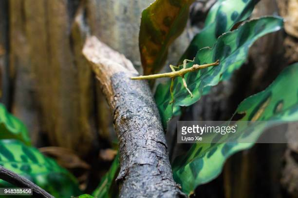 stick insect - liyao xie stock pictures, royalty-free photos & images