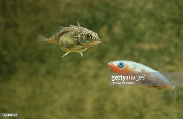 stickleback: gasterosteus aculeatus  male is watched by fema le  fresh water - male animal stock pictures, royalty-free photos & images