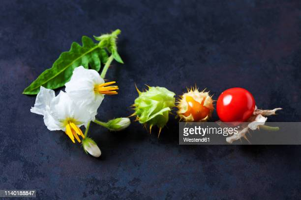 sticky nightshade tomatoes, leaves and blossoms on dark ground - flower part stock pictures, royalty-free photos & images