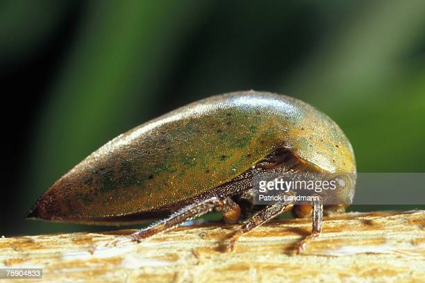 Stictopelta squarus which looks amazingly like the host plant's buds The wings are folded under the pronotum which is the upper dorsal surface of the...