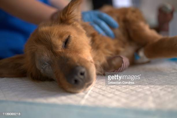 stid puppy saved from the street and brought to the veterinarians to be examined. - animal hospital stock pictures, royalty-free photos & images