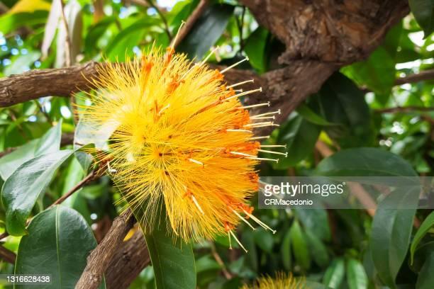 stifftia chrysantha - crmacedonio stock pictures, royalty-free photos & images