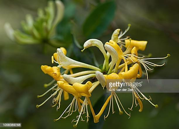 still flowering - honeysuckle stock pictures, royalty-free photos & images