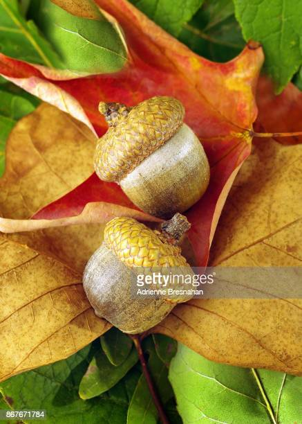 Still life close up of acorns on autumn leaves