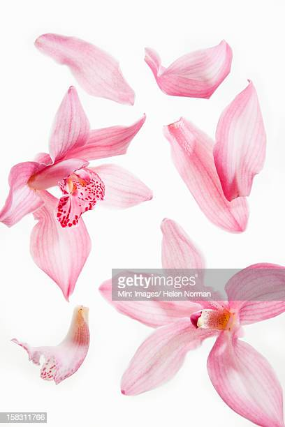 still life close up of fresh delicate pink plant petals. - blütenblatt stock-fotos und bilder