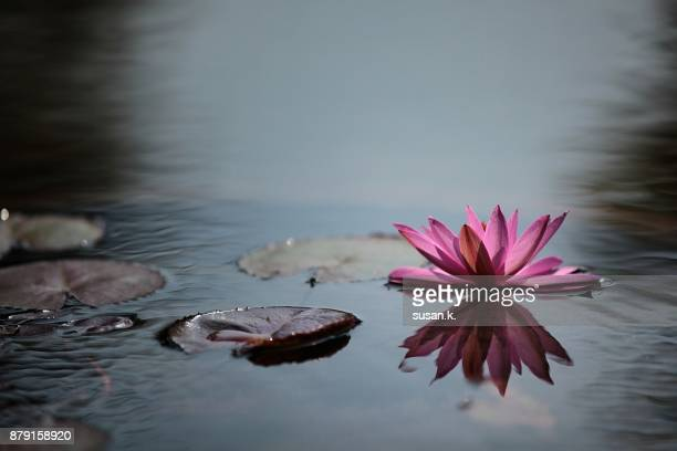 Still life of blooming red water lily in the pond.