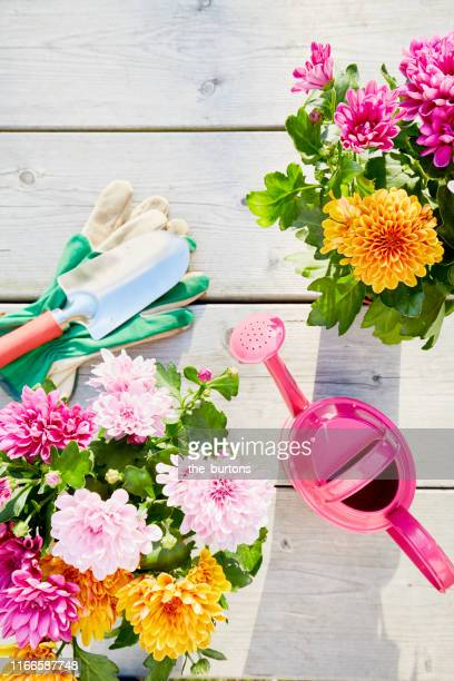 still life of colorful chrysanthemum plants and gardening equipment with pink watering can, shovel and gardening gloves on wooden background, directly above shot of planting flowers in garden - chrysanthemum stock pictures, royalty-free photos & images